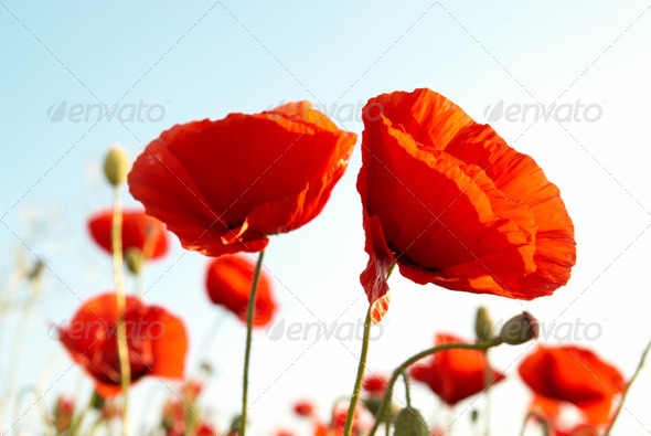 Red poppies - Stock Photo - Images