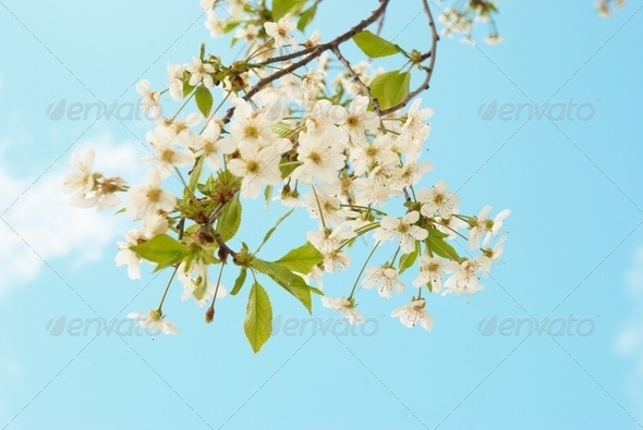 White cherry flowers - Stock Photo - Images