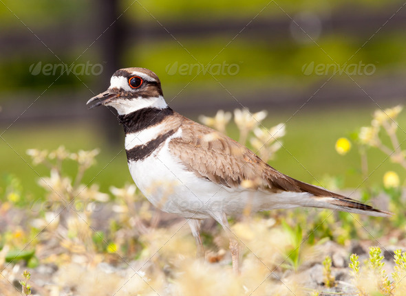 Killdeer bird defending its nest - Stock Photo - Images