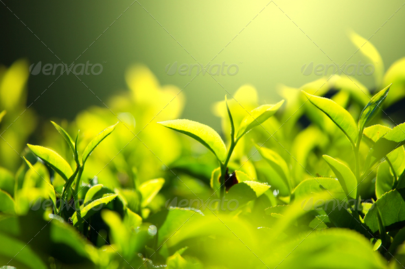 Tea plantation - Stock Photo - Images