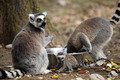 Ring-tailed lemur with cub - PhotoDune Item for Sale