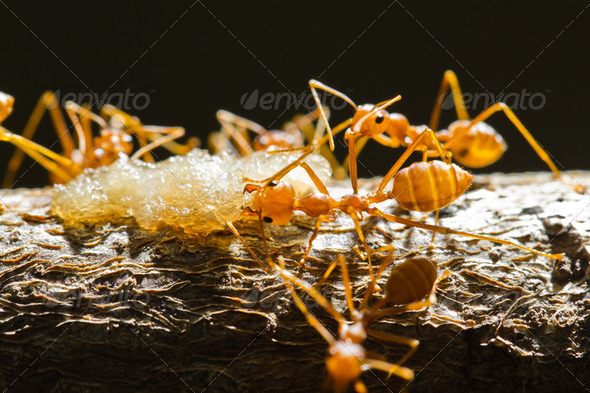 Red weaver ants - Stock Photo - Images