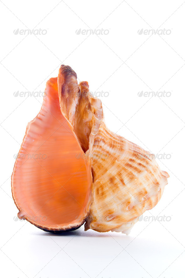 Seashell - Stock Photo - Images