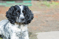 spaniel - PhotoDune Item for Sale