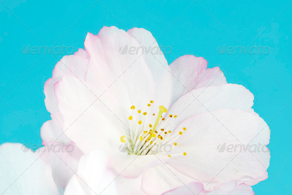 Cherry Blossom - Stock Photo - Images