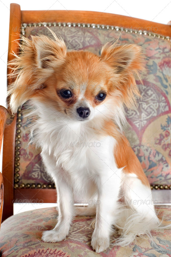 chihuahua on antique chair - Stock Photo - Images