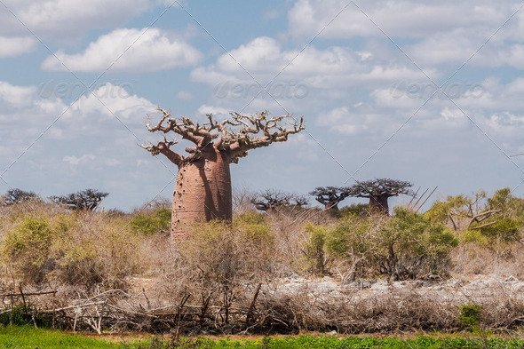Baobab forest and savanna - Stock Photo - Images