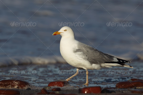 Herring Gull (Larus argentatus) - Stock Photo - Images