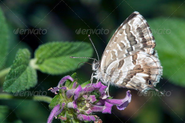 Butterfly lycaedes resting on flower - Stock Photo - Images