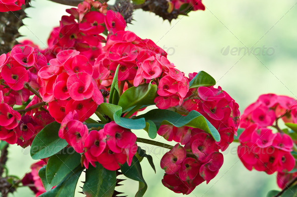 euphorbia milli - Stock Photo - Images