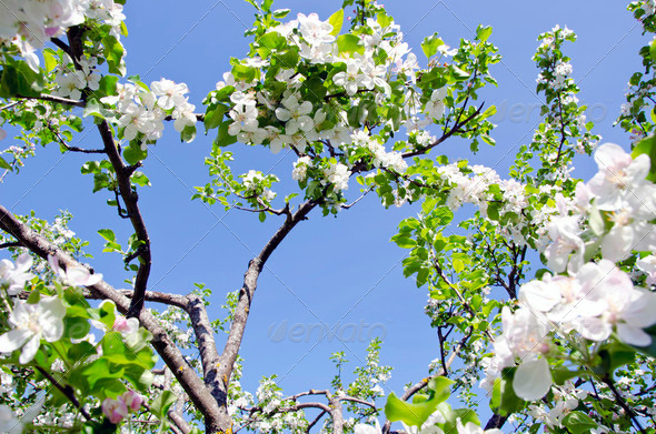 blossom apple tree branch on background blue sky - Stock Photo - Images