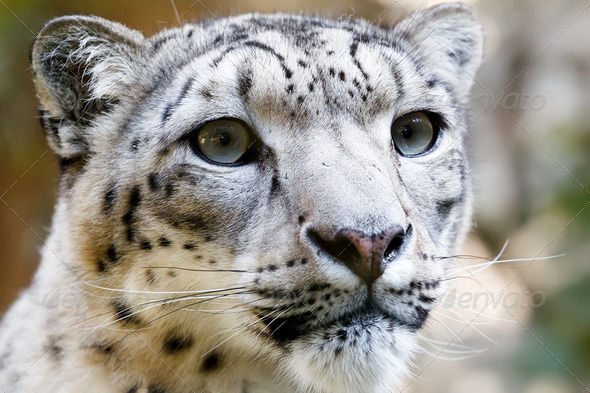 Close up Portrait of Snow Leopard Irbis - Stock Photo - Images