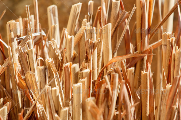 nice reed background - Stock Photo - Images