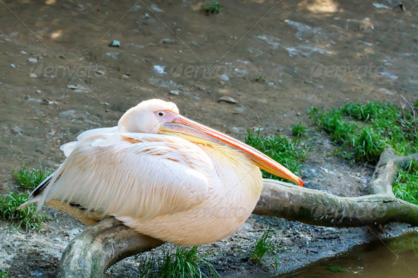 pelican (Pelicanus onocrotalus) posing in camera - Stock Photo - Images