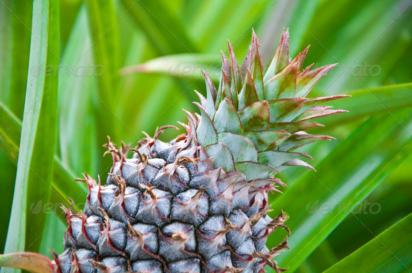 Young pineapple in the field - Stock Photo - Images