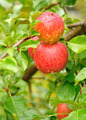 Apples with Raindrops - PhotoDune Item for Sale