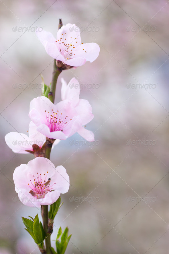 Fresh, spring tree with pink blossoms - Stock Photo - Images