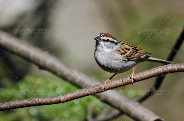 Chipping Sparrow Perched in a Tree - Stock Photo - Images