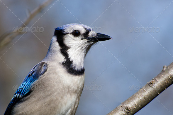 Close Profile of a Blue Jay - Stock Photo - Images
