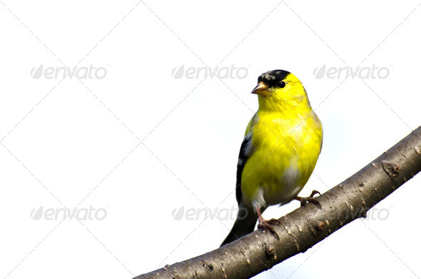 Male Goldfinch Perched on a Branch - Stock Photo - Images