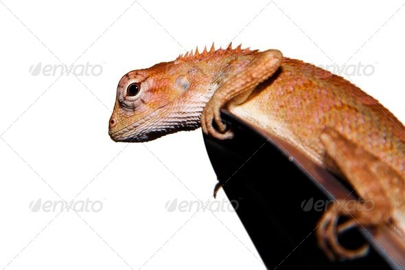 Close-up of  little Iguana - Stock Photo - Images