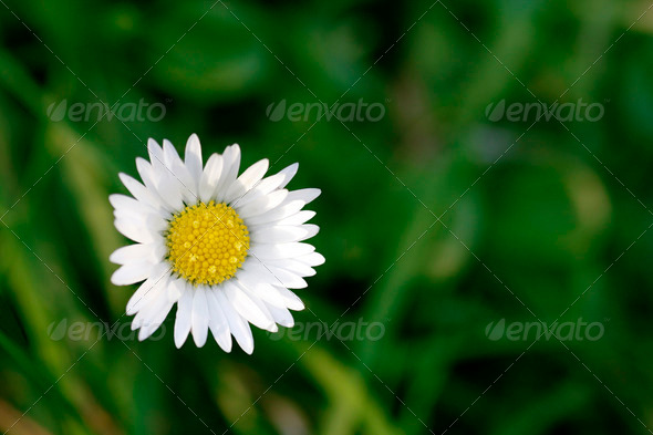 Single daisy with green background - Stock Photo - Images