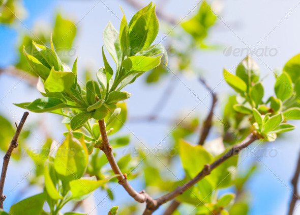 Tree branch with spring buds and young green leaves - Stock Photo - Images