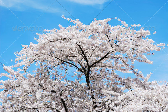 Flowering Cherry Tree - Stock Photo - Images