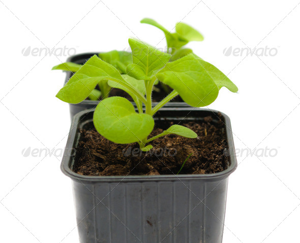 seedlings in a pot - Stock Photo - Images
