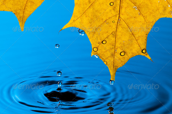 Yellow Leaf and Water Drop - Stock Photo - Images
