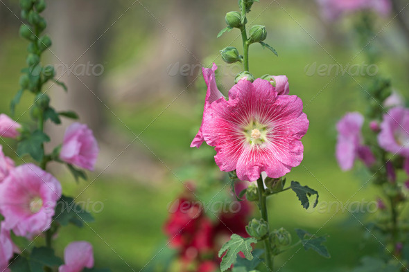 Pink hibiscus flowers - Stock Photo - Images
