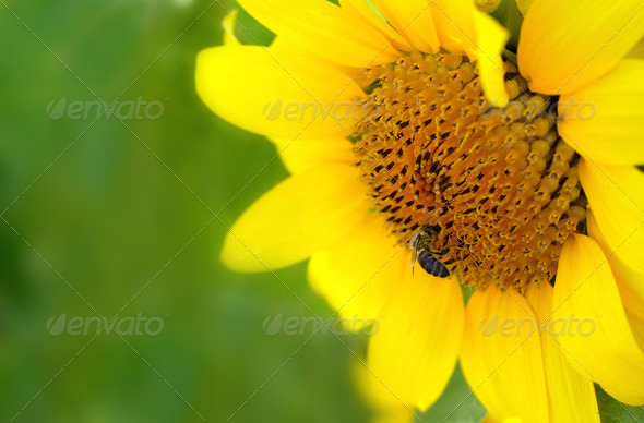 Bee on a sunflower - Stock Photo - Images