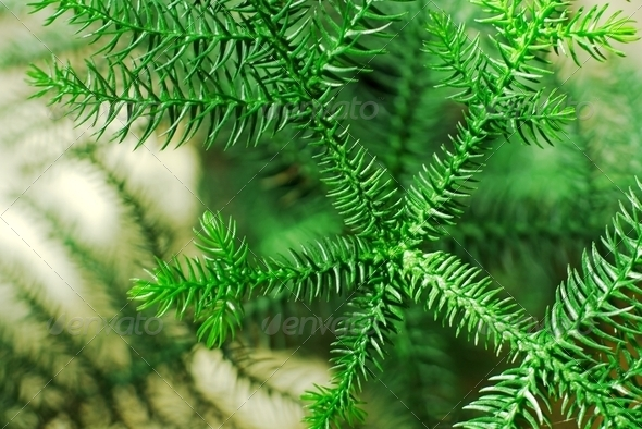 Pine - Stock Photo - Images