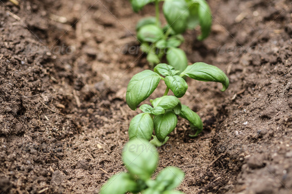Fresh green basil - Stock Photo - Images