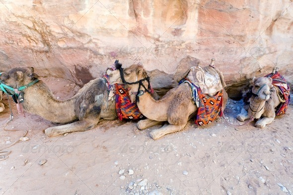 bedouin camels - Stock Photo - Images