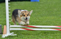 Pembroke Welsh Corgi at a Dog Agility Trial - PhotoDune Item for Sale