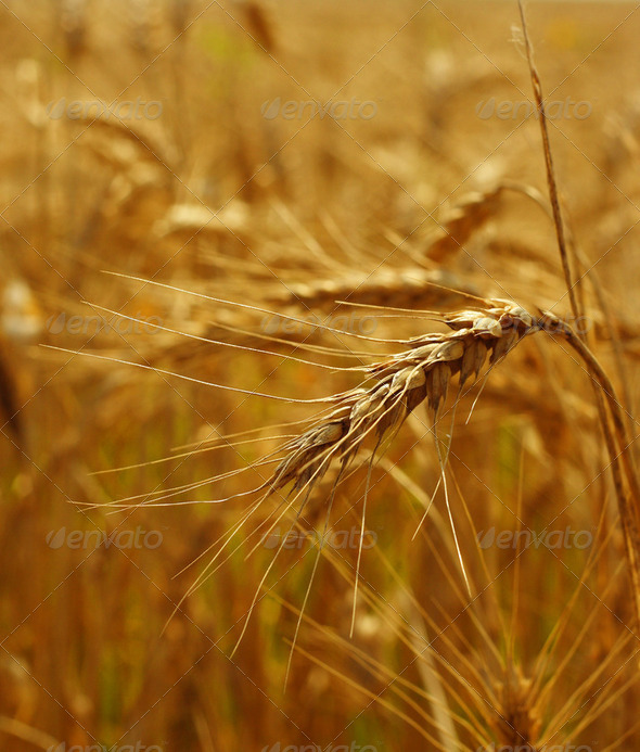 Grain field - Stock Photo - Images