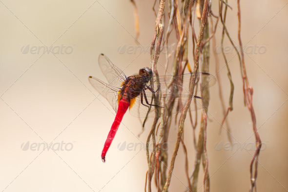 red dragonfly over root tree - Stock Photo - Images