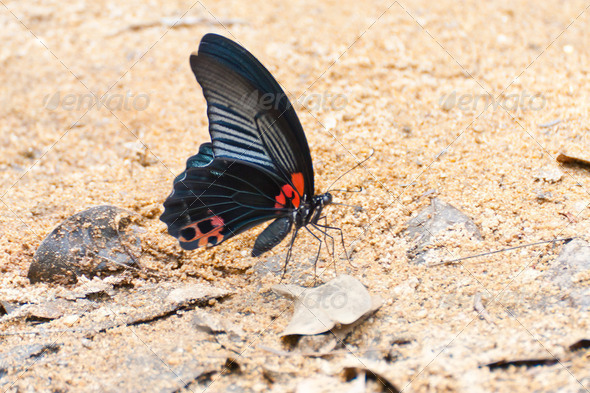 blue-black Morpho butterfly gathering water on floor in Thailand - Stock Photo - Images