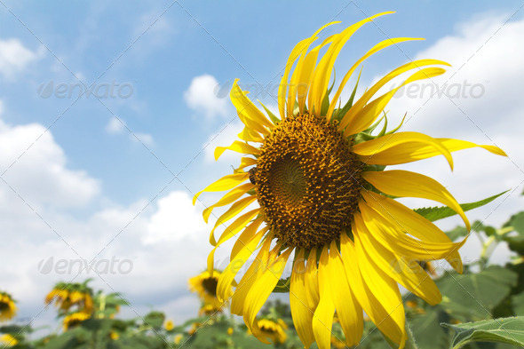 Sunflowers and bee with beautiful blue sky - Stock Photo - Images