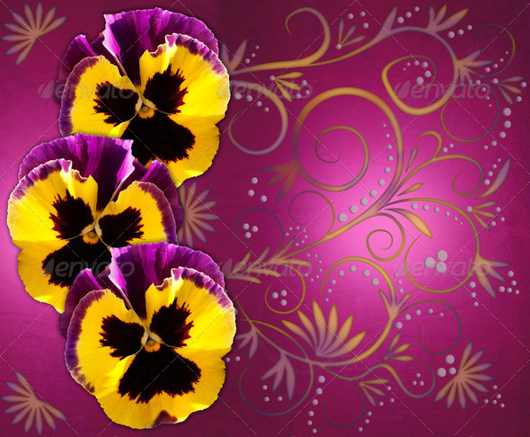 Pansies on magenta background - Stock Photo - Images