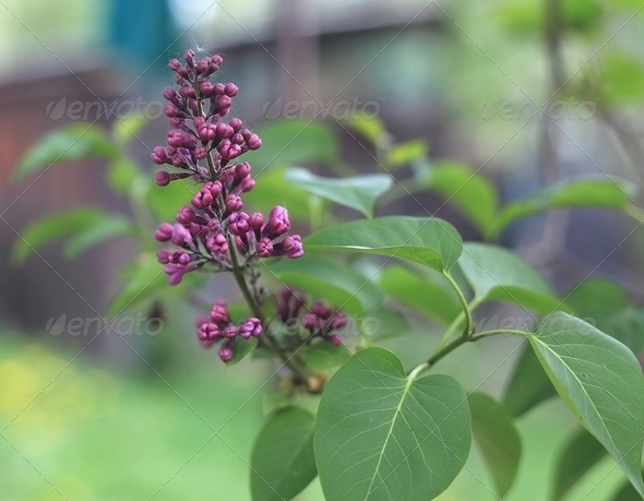 Violet Lilac Buds - Stock Photo - Images