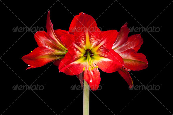 Red lily flower - Stock Photo - Images