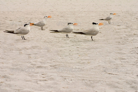 Elegant Terns Singing - Stock Photo - Images