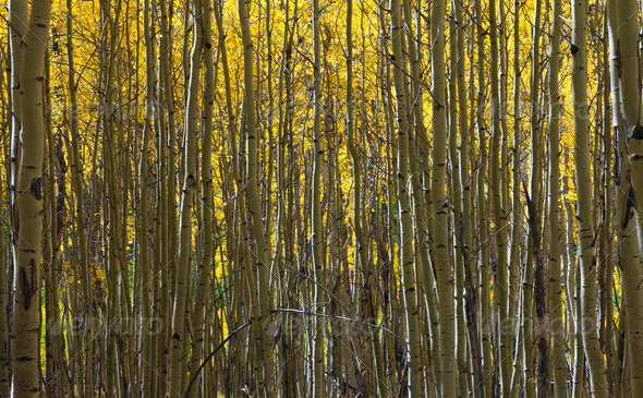 Abstract Pattern of Golden Aspen Forest - Stock Photo - Images
