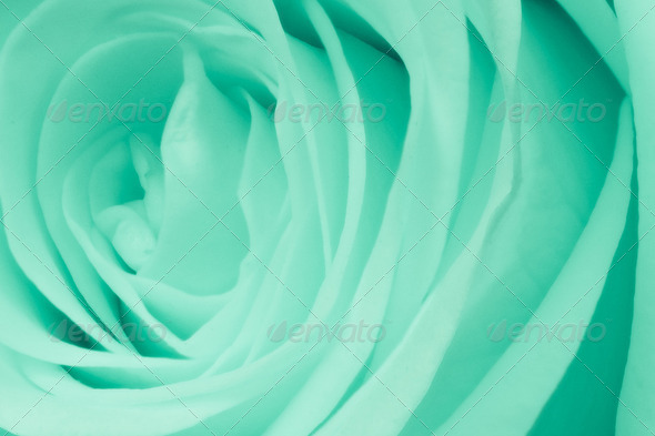 green rose close up - Stock Photo - Images