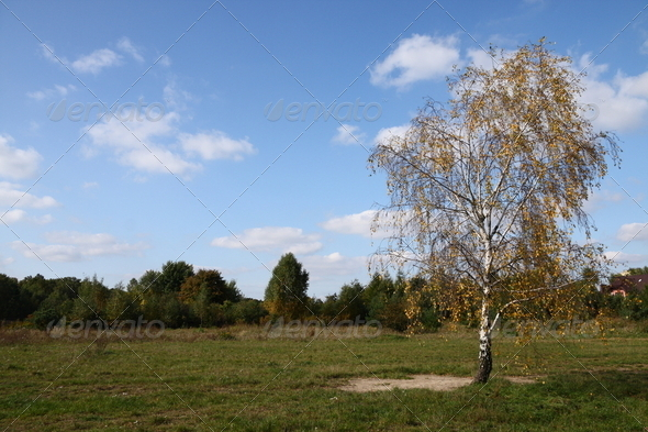Lonely birch tree in autumn - Stock Photo - Images