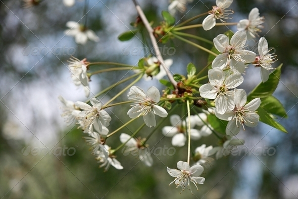 Blossoming cherry flowers - Stock Photo - Images