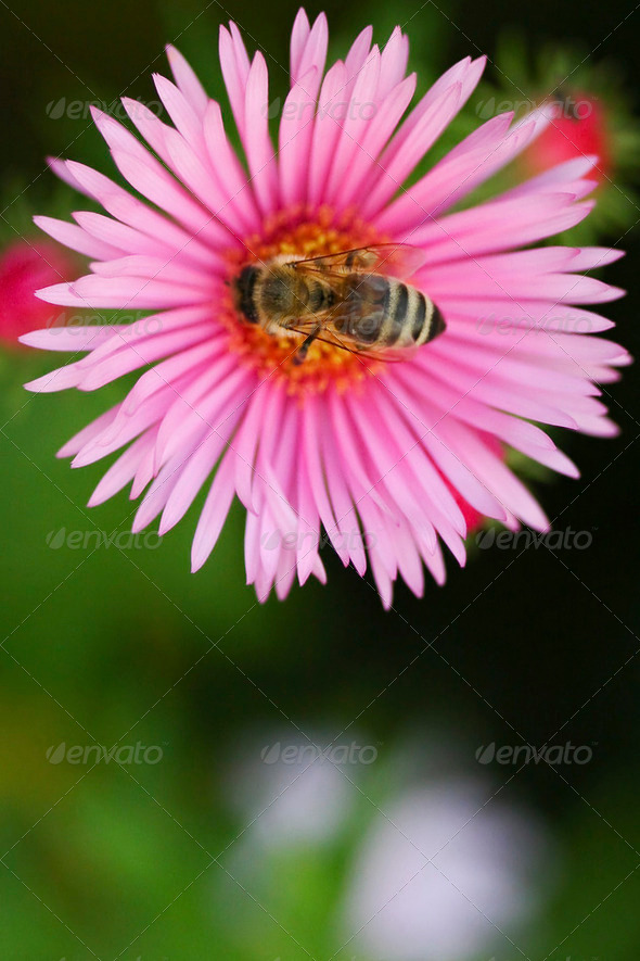 Bee on a flower06 - Stock Photo - Images