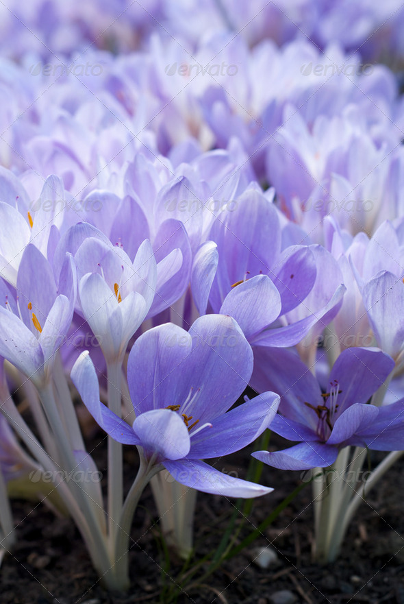 Crocus - Stock Photo - Images